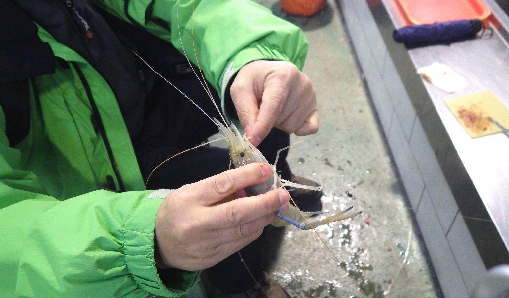 台湾庶民の娯楽「蝦釣り」の蝦のハサミに気をつけて!