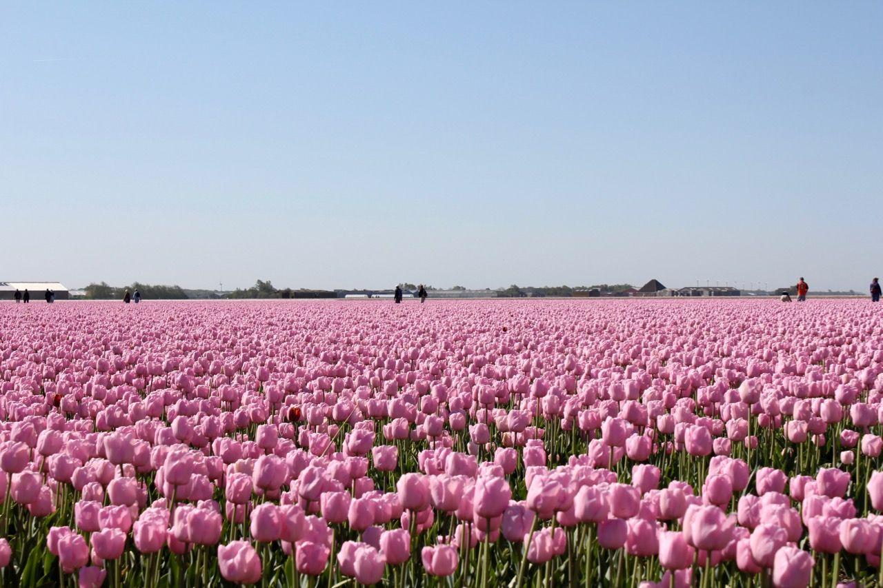 オランダにある世界最大のチューリップ畑の中をハイキング!