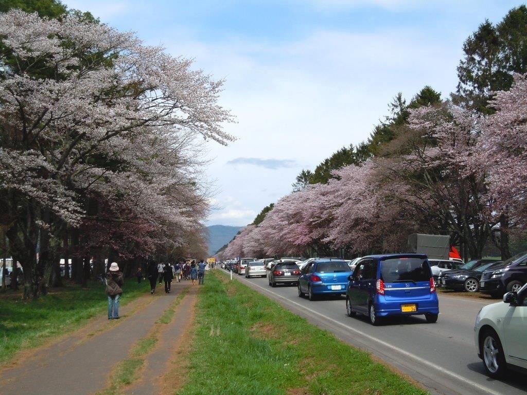 直線7kmもつづく圧巻の桜並木!