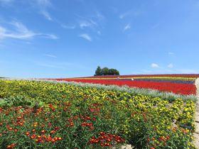 SNS 映え抜群の富良野のラベンダー畑「かんのファーム」