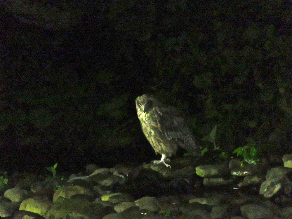 絶滅危惧種・シマフクロウに会える宿。知床「鷲の宿」