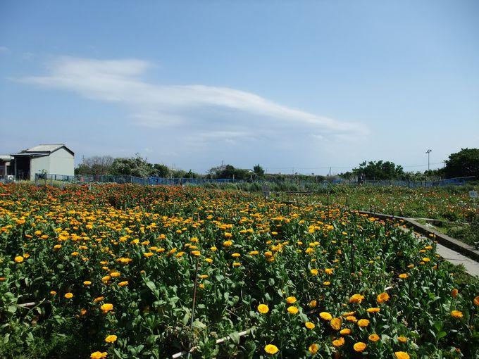 房総最南端で、お花摘み&そら豆狩り!
