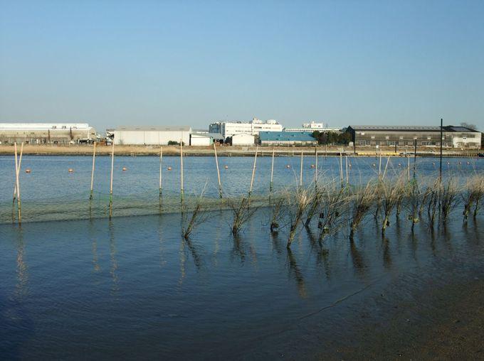 公園内で海苔の養殖?!「アサクサノリ生育観察実験」