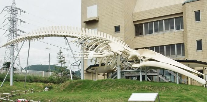 まるで恐竜!クジラ広場の「シロナガスクジラ全身骨格」