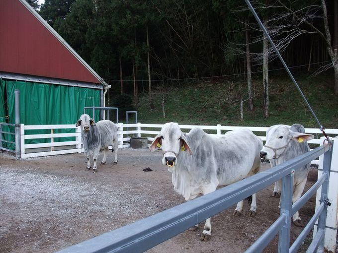 白牛は「酪農のさと」のシンボル