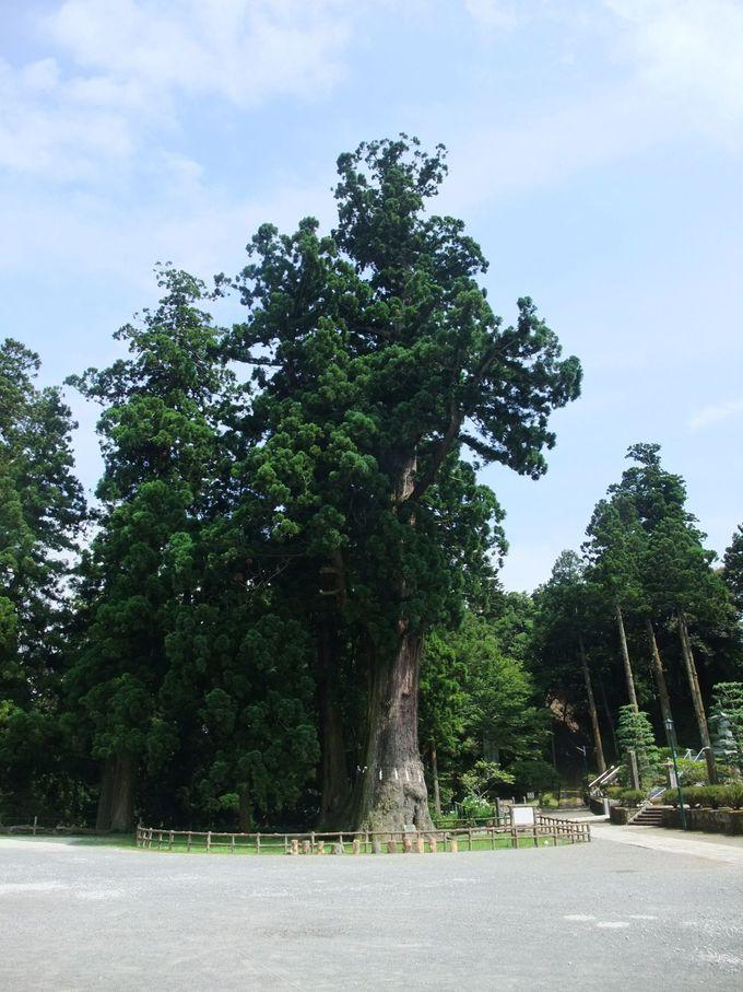 圧巻の千年杉