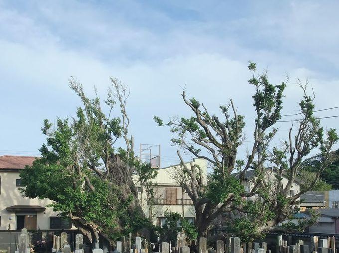 イチョウの大木は、県の天然記念物