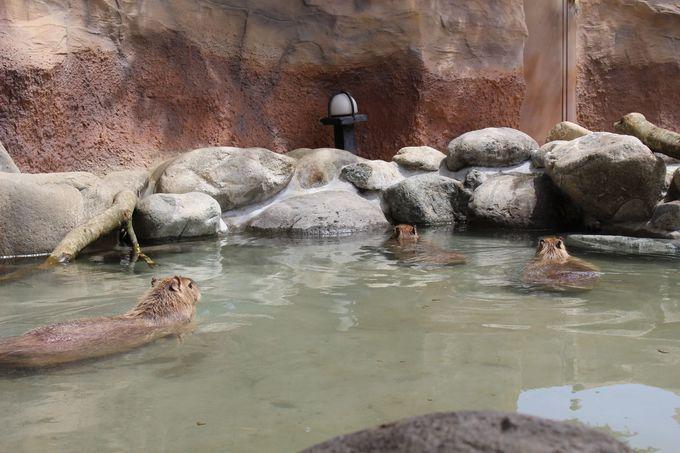カピバラは2時間温泉に浸かってものぼせない!