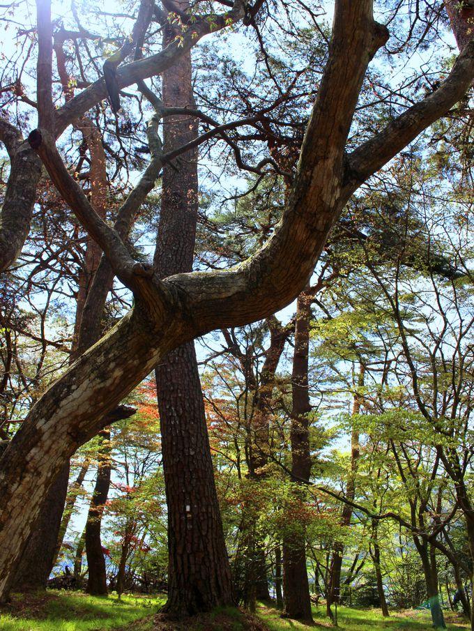 """「松屋敷」のシンボル""""赤松""""と空を見上げよう。"""