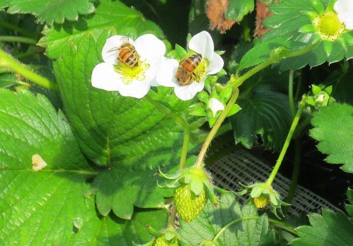 「日光ストロベリーパーク」のイチゴは減農薬・有機栽培のリンクティー認定!