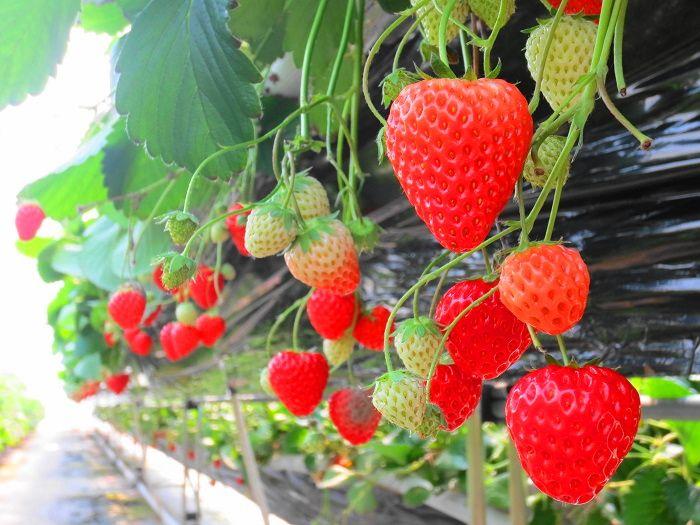 イチゴ狩りスタート!甘い香りに包まれて、美味しいイチゴを味わう幸せのひと時!