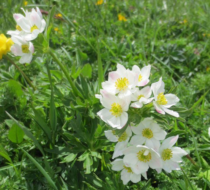 可憐なアルプスの花々!