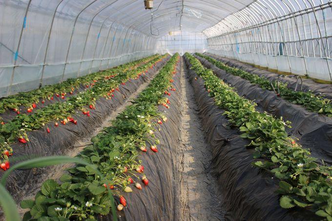 低農薬栽培&有機肥料で作る「いちごの里」の甘〜いイチゴ!
