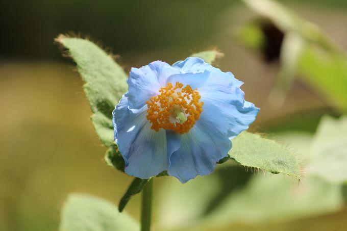 """日光""""上三依水生植物園""""に咲く天上の妖精「ヒマラヤの青いケシ」"""