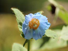 2018年ヒマラヤの青いケシのが見頃!日光「上三依水生植物園」フォトジェニックな花の旅