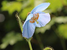 ヒマラヤの青いケシを関東の秘境で!日光「上三依水生植物園」フォトジェニックな旅