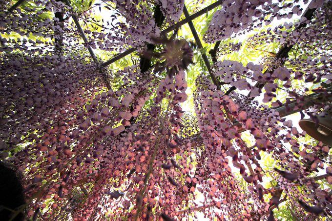 樹齢150年の「奇跡の大藤」はこうして生まれた