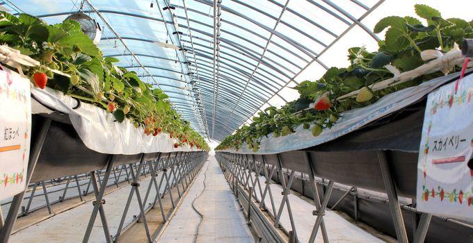 減農薬有機栽培いちごだから安心安全!