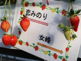 10種の減農薬ブランドいちご狩り!栃木県鹿沼「ベリーズファン」