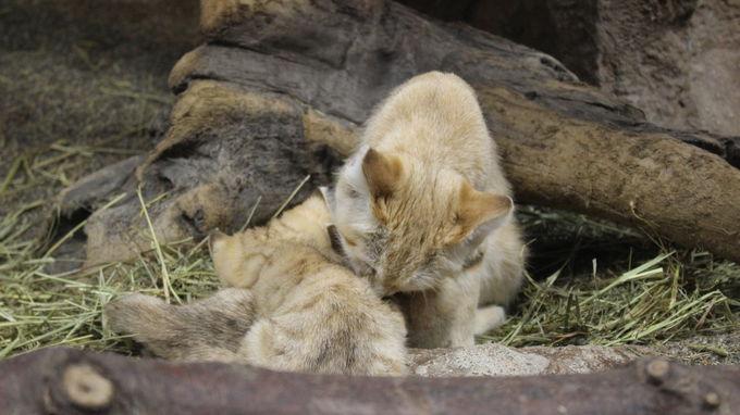 ジャミールが育てる2頭の赤ちゃんもすくすく!