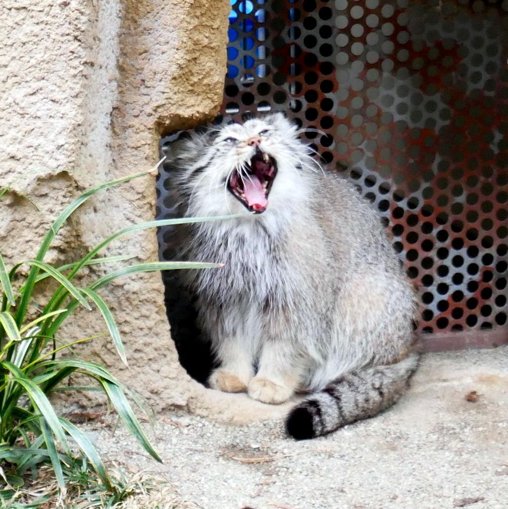 世界最古の猫「マヌルネコ」しっぽピクピクが可愛い!