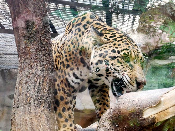 猛獣ジャガーやキュートなネコも!