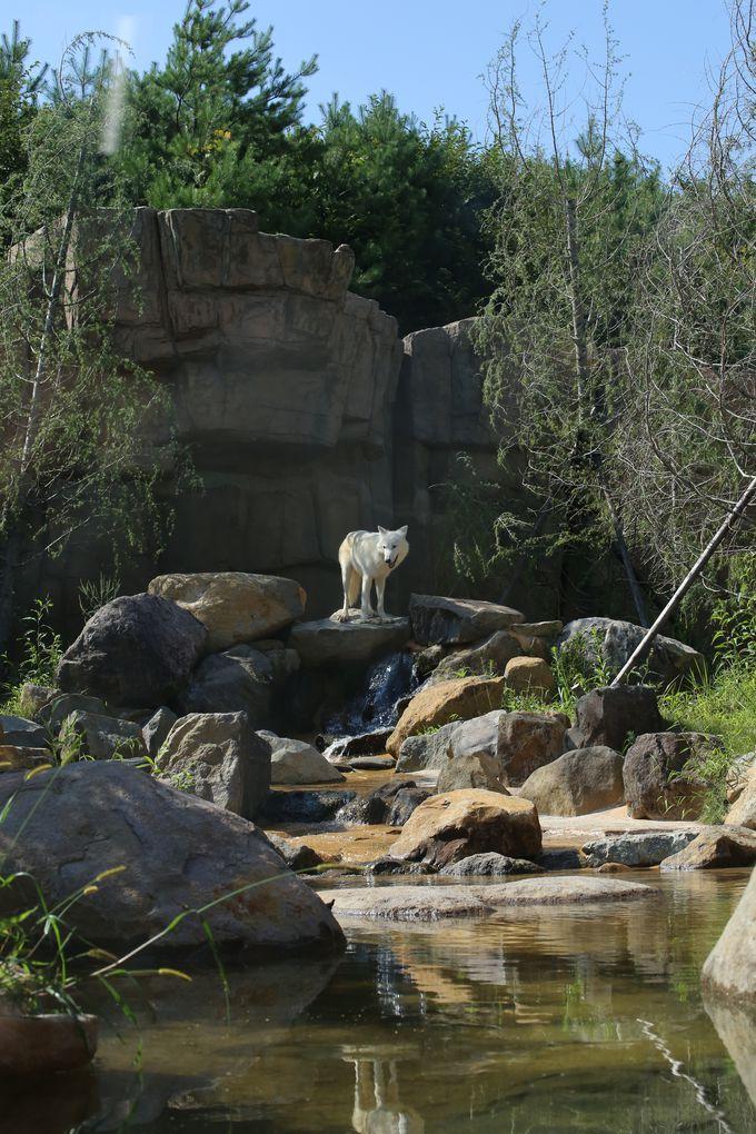 ここでしか会えない動物も!ホッキョクオオカミは国内初展示