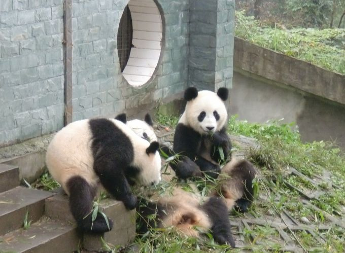 パンダ好きにはたまらない!生き生きとしたパンダたちの姿に感動!