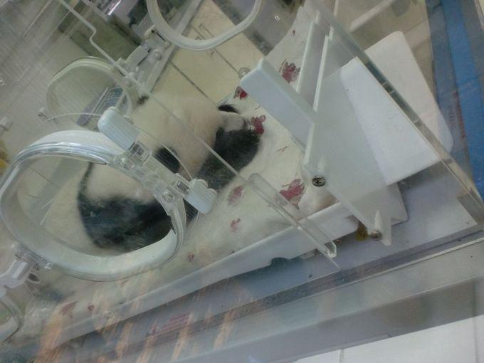 かわいい〜!思わず叫んでしまう!パンダの赤ちゃん&パンダ幼稚園