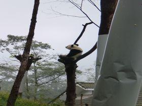 胸キュン!かわいい赤ちゃんも!中国四川へ木登りパンダを見に行こう!