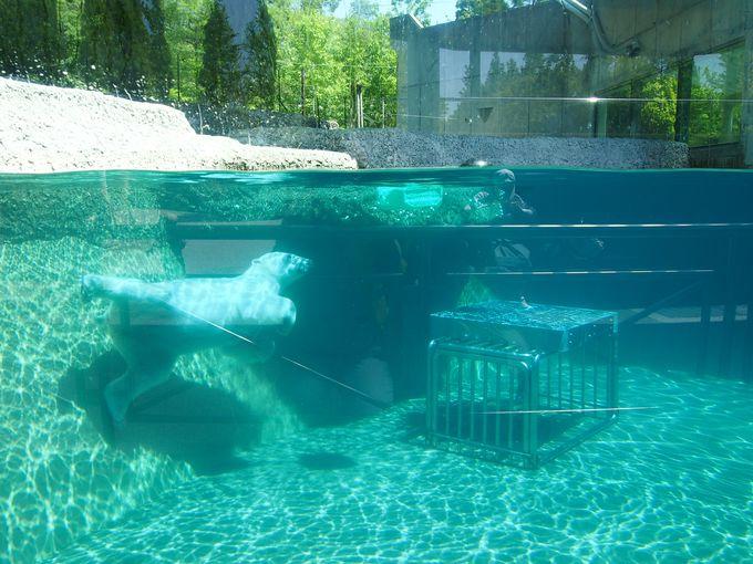 スイスイとプールを身軽に泳ぐポロロちゃん!