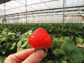 香川ブランドのイチゴが摘み放題!極旨ジェラートもある人気の農園「森のいちご」