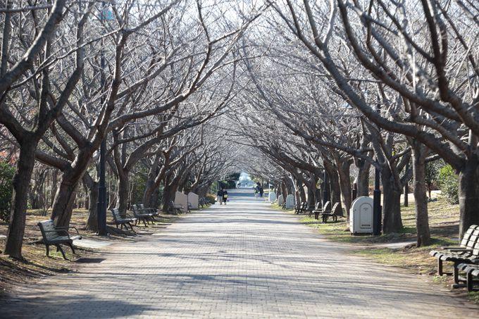 見通しの良い桜並木