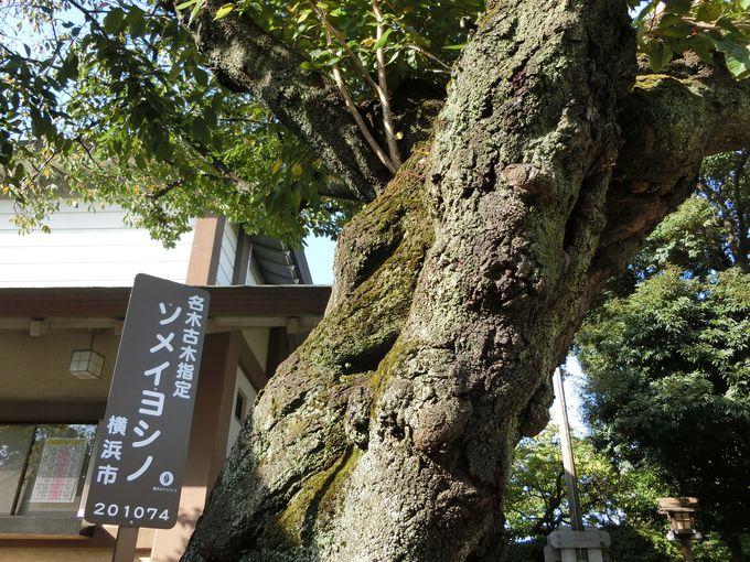 伊勢山皇大神宮に咲く木々たち。春は横浜随一の桜の名所に