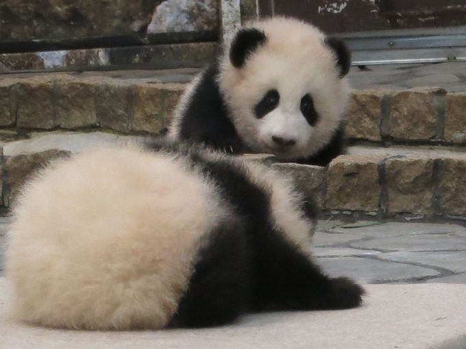 Happy New Panda Babies♪