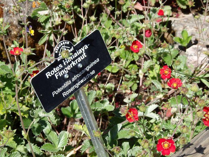 アルプス・ブルーメン・ガーデンで高山植物のお勉強!?
