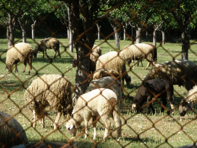 羊たちが草を食む風景も眺めながらミニハイキング