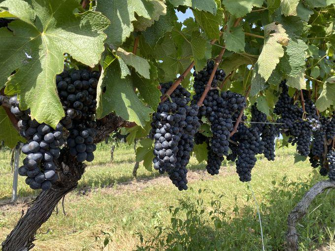 広大な大地で、8種類のブドウを栽培