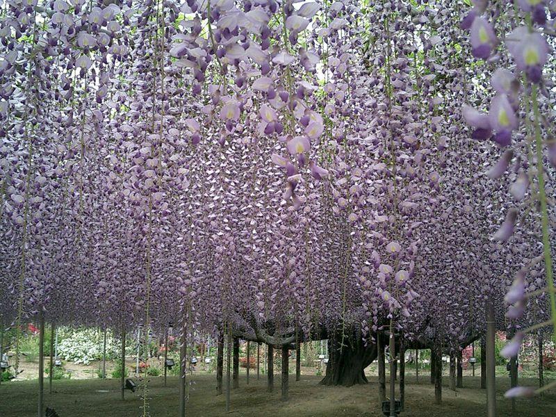 幻想的な大藤&甘ぁ〜いいちご狩り♪ 春を感じる満喫栃木旅♪