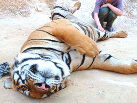度胸試し!?タイ「タイガーテンプル」で虎を触って写真を撮ろう