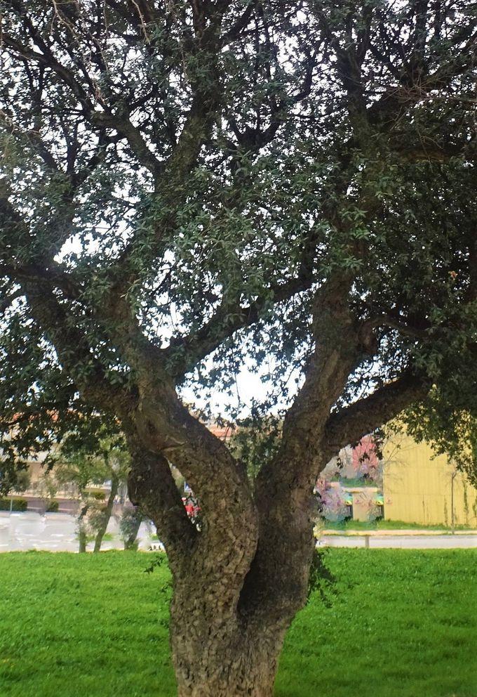 「コルクガシ」の木ってどんな木?