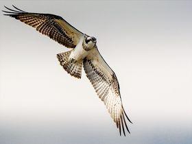 もののけの森に巨大鳥オスプレイ!英・湖水地方「ダッド ウッド」