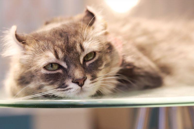 渋谷・猫カフェ「空陸屋plus」はみんな血統書付きセレブ猫