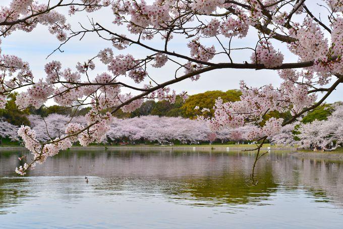 剛の池を縁どる桜