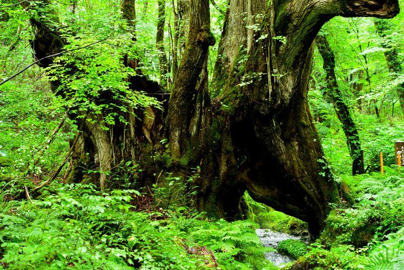 この園に来たなら、まずはマザーツリーといわれる 和池の大カツラへ