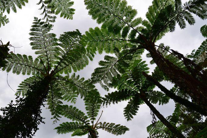 沖縄唯一、一億年前から生息していた「ヒカゲヘゴ」の原生林