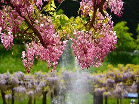 山陰随一の名所!兵庫県「白井大町藤公園」で全国の藤の花