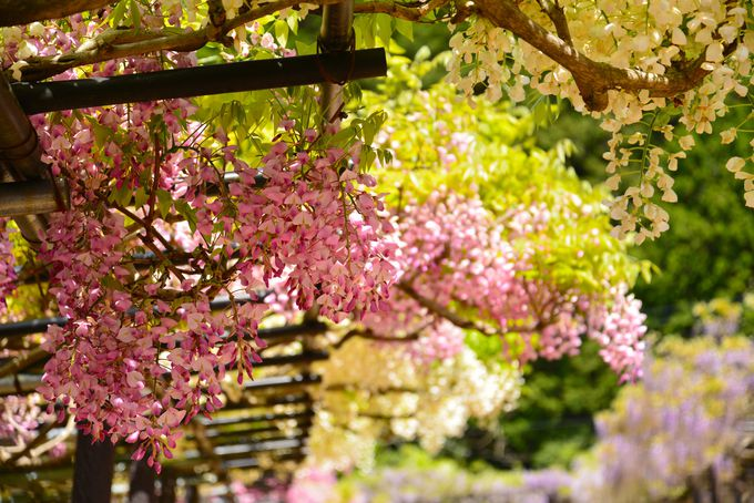 重なる色の違いも美しい 日本各地の藤