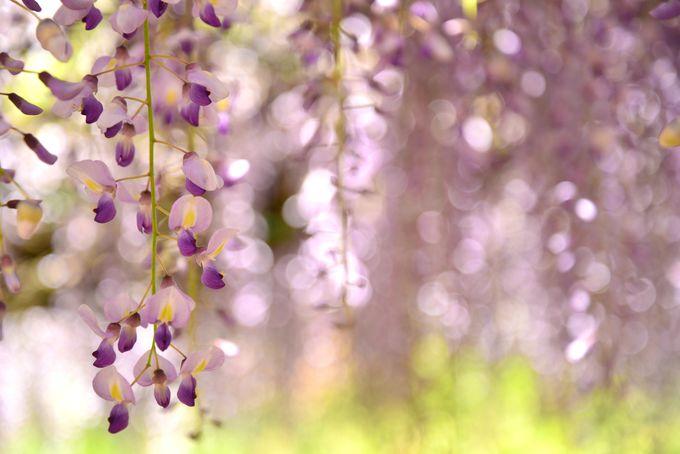 長さだけでなく、花房の美しさにも注目を