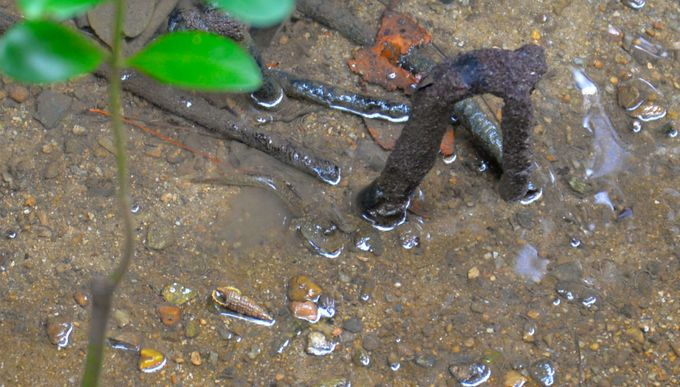 干潮時だからこそ見られるマングローブの足元